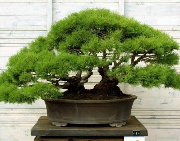 19-pinus-halepensis-lucia-bonsai-izlozba-26042015